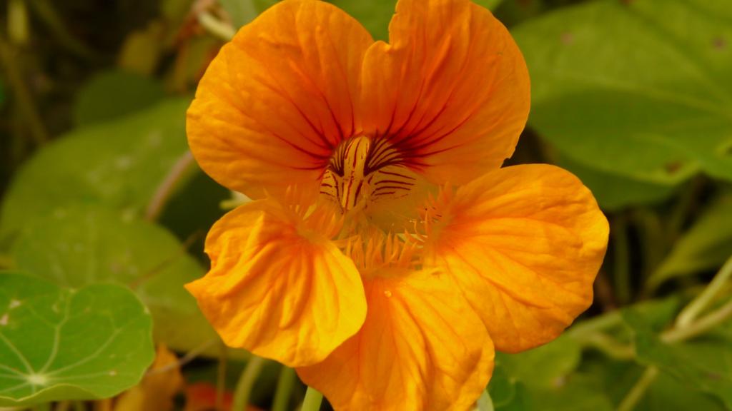 Kvet kapucínky väčšej